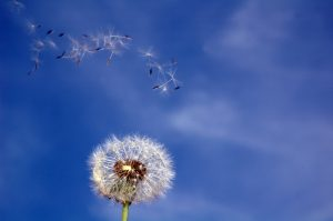Image of a dandelion depicting that allergies are uncomfortable, but Ayurveda can help